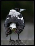 The Magpies - don't ruffle their feathers!