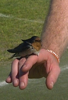 *The rescued swallow